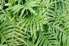 Microsorum diversifolium, Kangaroo Fern A tender fern from ... Ruffled Birds Nest Fern