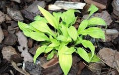 Little Stiffy Hosta - 3 Inch Container