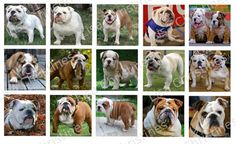 Bulldogs Digital Collage 1.5 inch / 180 by LisaChristines on Etsy, $1.50