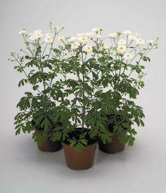 Bolile non-infectioase ale plantelor de apartament - Casa și Grădina Houses, Plant