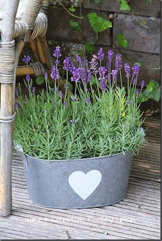 Love lavender in a galvanized bucket!