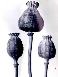 The Forgotten Photography of Karl Blossfeldt focuses on form and structure. Theses forms can also be linked to the positions of an inspired. Karl Blossfeldt, Bio Design, Organic Shapes, Organic Form, Seed Pods, Natural Forms, Botanical Illustration, Botanical Art, Land Art