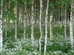 My father made a birch alley to the house every Midsummer Helsinki, Norwegian Wood, Walk In The Woods, Summer Dream, Green Nature, Nature Photos, Beautiful Landscapes, Summertime, Beautiful Places