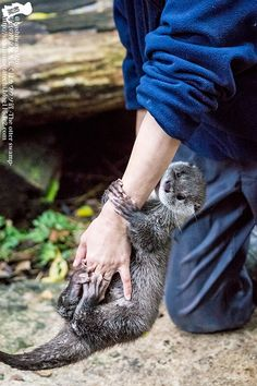 Otter loses her grip on human's arm - February 23, 2017 - More in the series at today's Daily Otter post: http://dailyotter.org/2017/02/23/otter-loses-her-grip-on-humans-arm/