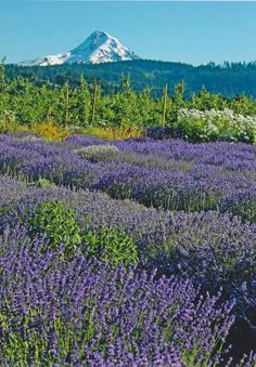 "Lavender and Mt. Hood ♥ My brother & sister in laws place. ""Hood River Lavender"" ♥"