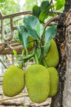 Red Maple Tree Care And Planting – Growing Red Maple Trees Jackfruit Plant, Jackfruit Tree, Jackfruit Recipes, Fruit Plants, Edible Plants, Fruit Trees, Fruit Garden, Ubud, Rosario