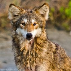 Coyote sightings on the Island, though rare, do occur.