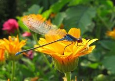 The Meaning of a Dragonfly: What Does a Dragonfly Symbolize? | wanders re-awakening