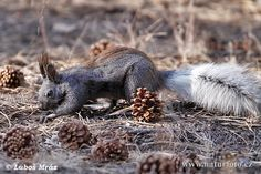 The Kaibab Squirrel is one of the rarest mammals in the national park system. It is found on the Kaibab plateau, on the North Rim of the Grand Canyon, and is native to no other part of the world.