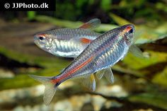 hemigrammus_erythrozonus / http://www.aquariumphoto.dk/index.html