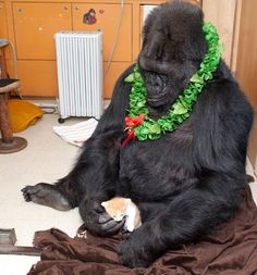 Gorillas have become one of my favourite animals after I watched Koko. She is like the tamest!