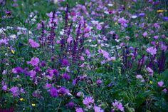 Salvia nemorosa and Mallow Companion Planting, Salvia, Seeds, Gardens, Twitter, Flowers, Plants, Sage, Outdoor Gardens