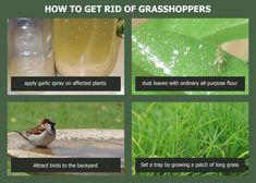 Get rid of the pesky grasshoppers and locusts that are eating your precious garden plants. Try these natural methods to get rid of these pests. Slugs In Garden, Garden Insects, Garden Pests, Gardening For Beginners, Gardening Tips, Plant Pests, Plants, Organic Insecticide, Natural Pesticides