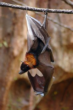"--- /\_❢ₒ❢_/\--------PIPISTRELLI------------/\/\__//\/\--------------BATS---------------------""""""-----------by-ⓛⓤⓐⓝⓐ-------: "" Flying Fox by ~girlwerewolf """