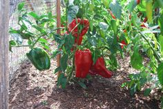 'Ace' Red Bell Pepper Ace' (F1 hybrid, 50 days green, 70 days bright red)  is a very early bell pepper that produces heavy yields of medium-sized bell peppers. If you're growing bell peppers in northern or alpine short-summer gardens, this is one of the best pepper varieties for you. Buy 'Ace' - See more at: http://www.grow-it-organically.com/pepper-varieties.html#sthash.vmtAfj3P.dpuf   'Staddon's Select' (F1 Hybrid, 70 days green, 80 days red) pepper produces even in cool short-summer…