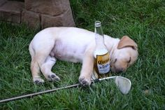 A puppy passed out after a long day of golfing and drinking.