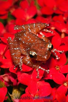 Cinnamon Tree Frog (Nyctixalus pictus) also known as the painted Indonesian treefrog lives in southeastern Asia - their tadpoles develop in puddles of water inside tree holes. (Photo Adam Jones)