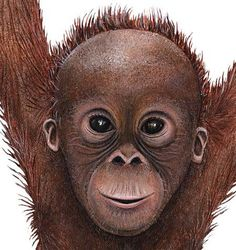 Baby Orangutan Coloring Page From Orangutans Category Select