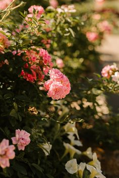 Brisbane is home to some spectacular gardens. In our posts, we are going to share some of our favourites. We took these photographs of some roses in the Brisbane City Botanical Gardens last weekend.