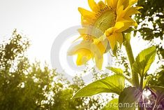 Blossomed Sunflower Close Up Plant Field Stock Image - Image of romania, canvas: 145587553 Free Stock Photos, Romania, Close Up, Royalty, Canvas, Illustration, Plants, Image, Royals