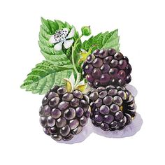 Blackberries Painting by Irina Sztukowski - Blackberries Fine Art Prints and Posters for Sale