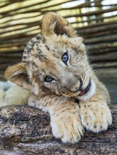 Lion cub posing on the branch...what a cutie!
