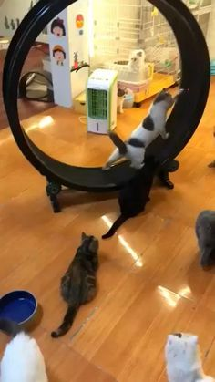 Cool Cat Toys Funny Cats with Toys - Katzenrassen Beautiful Cats Cool Cats, Cool Cat Toys, Cute Cats And Kittens, Ragdoll Kittens, White Kittens, Adorable Kittens, Black Cats, Toys For Cats, Cute Funny Animals