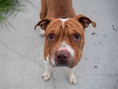 AT RISK TO BE DESTROYED 6/22/18 King is at-risk of euthanasia and needs placement. Please consider opening your home today! Hello, my name is King. My animal id is #31322. I am a male brown brindle dog at the Brooklyn Animal Care Center. The shelter thinks I am about 3 years old. I came into the shelter as a owner surrender on 15-Jun-2018, with the surrender reason stated as animal behaviour - aggressive towards people. Sorry, this pet is for new hope partners only.