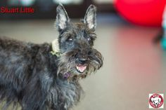 Stuart Little the Scottish Terrier  Gender:Male Age:9 - 10 years old approx Size:Small Breed:Scottish Terrier With Dogs:YesWith Cats:TBD With Children:Over 16 years old To be considered for adoption you must fill out an application, be approved and be able meet the dog in person We are located in the MTL, Canada region. Stuart Little, Foster Family, 16 Year Old, Scottish Terrier, Foster Care, Small Breed, Happily Ever After, 10 Years, Pet Adoption