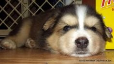 Badger is an adoptable Husky Dog in Thunder Bay, ON. Adoption Pending. Badger is puppy who will be ready for his forever family around the beginning of November. He is a snuggly pup who is growing lik...