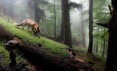 Framed Print - Red Fox Walking Through The Forest (Picture Wild Animal Photo) #ebay #Home & Garden