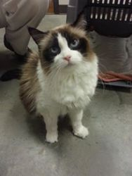 Lacey is an adoptable Ragdoll Cat in Salisbury, NC. Lacey is a 7-8 year old Ragdoll cat that we would love to be adopted with her sister, Leanne. They came to the sanctuary together as owner surrende...