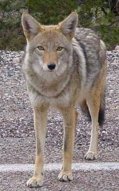 The coyote (Canis latrans) was adopted as South Dakota's state animal in 1949. Native to the desert southwest, the coyote now ranges from Alaska, throughout most of Canada and the USA, and south to central America. In South Dakota, the coyote (also called prairie wolf) is found in the greatest numbers in the Black Hills and along the Missouri River and its tributaries