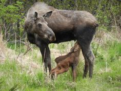 Mama Moose with 3 day old twins in Homer, Alaska - photo by jhockema