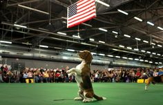Thunder, a Beagle from Bangkok, Thailand, rises up on its hind legs in the ring during judging in the Hound Group at the 139th Westminster Kennel Club's Dog Show in the Manhattan borough of New York Feb. 16.