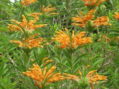 Leonotis leonurus,Lion's Tail, Lion's Ear, Wild Dagga, Phlomis leonurus, Mediterranean shrubs, Evergreen Shrubs, Red flowers, Orange flowers, drought tolerant flowers