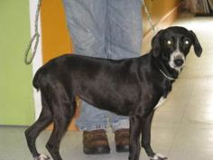N.CAROLINA ~ meet Holly FTA ~ an #adoptable #Whippet #hound #dog in Murphy.  VALLEY RIVER HUMANE SOCIETY ~   7450 US 19 MARBLE NC 28905   ph 828-837-2304   We are located in the quiet community of Marble NC   just between Murphy and Andrews.   We have a big selection of beautiful pets ready for new homes today!   Hrs are Tue-Fri 11a-5p   & on Sat from 11a-4p   Please stop & visit! email vras1@frontier.com