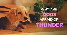 Why Are Dogs Afraid of Thunder: How to Calm a Dog During a Storm http://peanutpaws.com/why-are-dogs-afraid-of-thunder/  #dogs #storm #thunder #puppy #pets #doglovers #pethealth #doghealth #dogtraining #dog