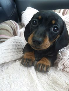 Help reddit! My new (girl) mini daschund puppy needs a name! - Imgur