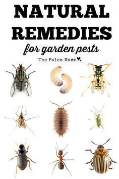Here a list of the 12 most common insects found in home gardens and some natural remedies for garden pests. #garden #natural