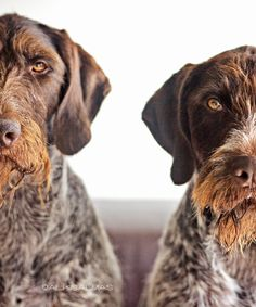 2 gwp's are better than 1 gwp. (german wirehaired pointers)