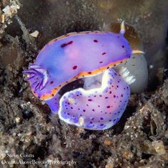 Our goes to these two love birds - Chromodoris thompsoni (the species at the bottom) and a Goniobranchus loringi 😍💜 📸 📍Australia Nudi Fun Fact: Chromodoris thompsoni species Sea Slug, Second Love, Underwater World, Marine Life, Love Birds, Creatures, Coral Reefs, Wild Things, Parrots
