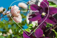 21 lyckade kombinationer av rosor och klematis