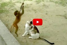 Cat And Monkey Playing Together - Love Meow