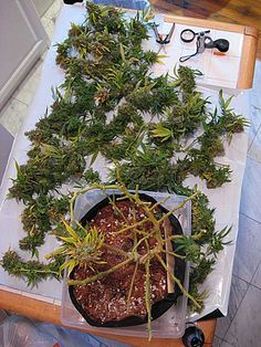 Highly LST'ed plant at harvest - view from above