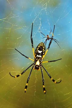 The golden orb spider (male and female) A female golden orb spider can have an abdomen of up to 30mm long. She dwarfs the tiny 5mm male in both size and weight. In almost all nephila species the male is in danger of being devoured by the female after mating. To avoid being cannibalised, the male will approach the female when she is already feeding, or present her with a parcel of food to eat. Whilst the female is distracted, the male will fertilize her and then retreat to a safe distance.