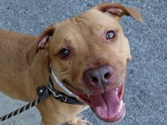 GONE RIP 9/18/13 Brooklyn Center  KATTY - A0978058  FEMALE, BROWN / WHITE, PIT BULL, 3 yrs She's gentle, easygoing, interactive, obedient, intelligent. There is not anything to dislike about her. Sadly, her time is up, and she is marked for death. She only has hope, and you. If you step up now to adopt or foster her, she'll be guaranteed a tomorrow.