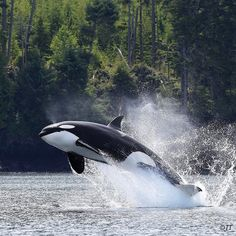 Orcas, Water Animals, Animals And Pets, Beautiful Creatures, Animals Beautiful, Salt Water Fish, Underwater Creatures, Wale, Killer Whales