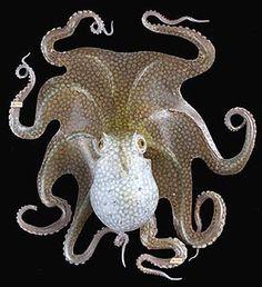 Leopold and Rudolf Blaschka, 1866, glass octopus