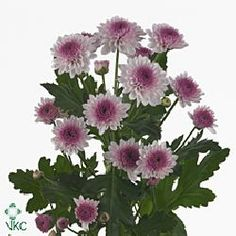 Navona is a round pink & purple variety of miniature santini chrysanthemums. 2018 Wedding Trend: Ultra Violet Purple. For lilac and purple wedding flowers to suit your colour scheme, visit our website at www.trianglenursery.co.uk/fresh-flowers!